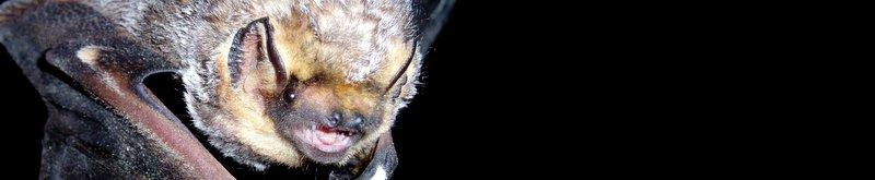 Hoary Bat | Photo Credit: Joe S